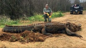 700 pound alligator